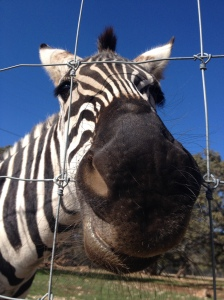 Ever been this close to a zebra?  well, I was.  IT was awesome.