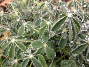 frozen rain on bluebonnet plants