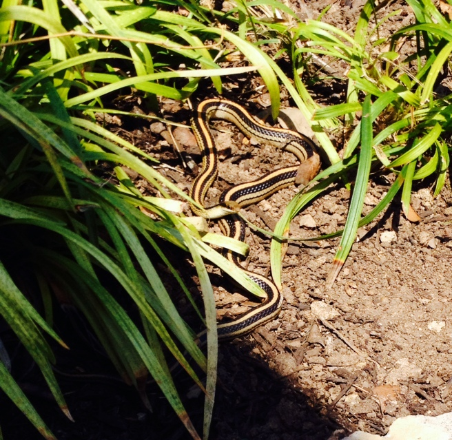 Texas patch-nosed Snake sunning itself in my garden